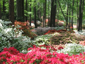 Azalea Trail at the Overlook
